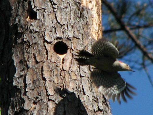 Red-bellied woodpecker leaving its nest cavity in a dead pine tree.