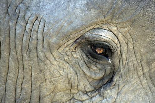Elephant eye. Photo: Matt Feierabend.