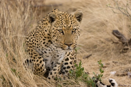 Leopard on the prowl. Photo; Greg Willis, Denver, Colorado. Reproduced permission Wiki Creative Commons.