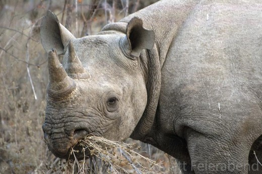 Black rhino with a mouthful of small twigs. Photo: Matt Feierabend.