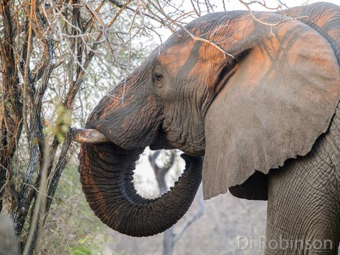 Adult male elephant painted by the sunrise. Photo: Di Robinson.