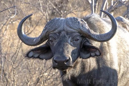 Are you a compassionate buffalo? Photo: Matt Feierabend.