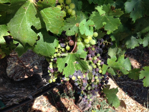 Grapes on the Vine, photo taken by Randi Glazer