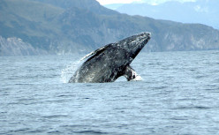 Migration of the Gray Whale