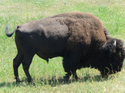This close up of a buffalo was taken at Yellowstone National Park.