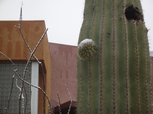 Snow on cactus in Tucson.