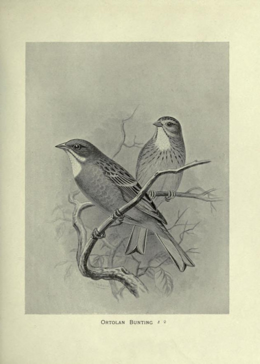 British Birds with their Nest and Eggs -Butler 1898,courtesy of the BHL.