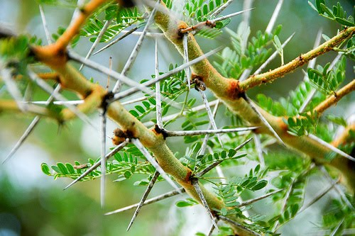 Participants used this kind of thorny acacia plants to fence camp around to drive predators away
