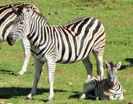 Zebra at Addo Elephant Park