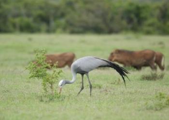 Blue Crane-the National Bird