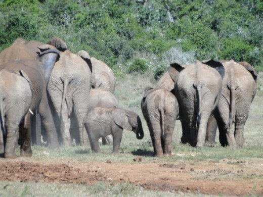 Herd of Elephant at Addo