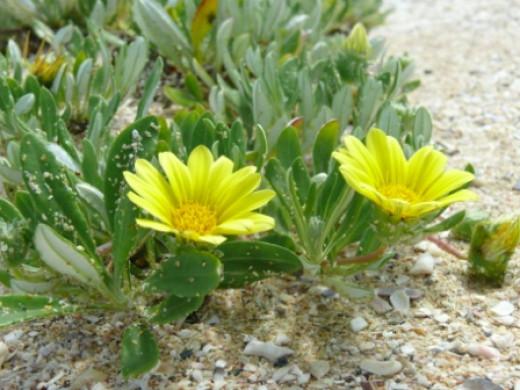 Fynbos flowers-Cape St Francis