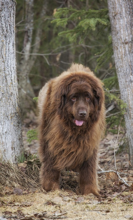 Don´t forget that Newfoundlands can get big!