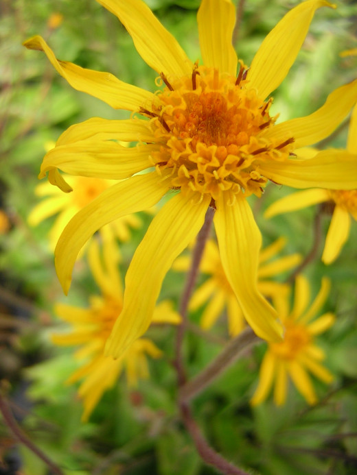 Arnica lotion is created from the Arnica montana plant.