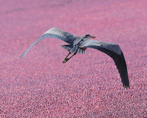 A Great Blue Heron flies over a full cranberry bog.