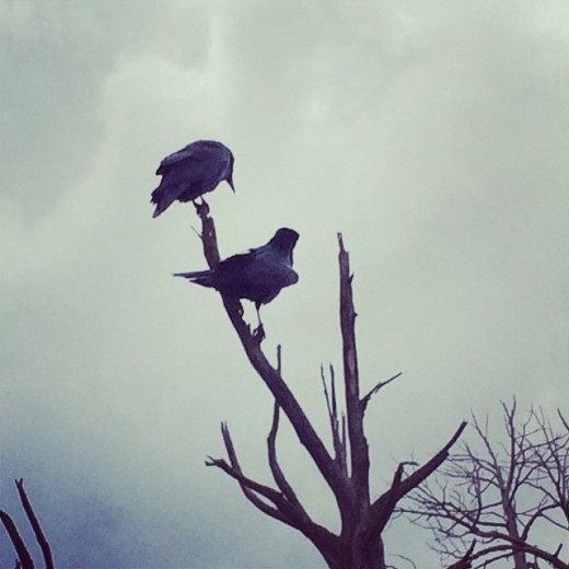 Two ravens calling out to me during my travels.