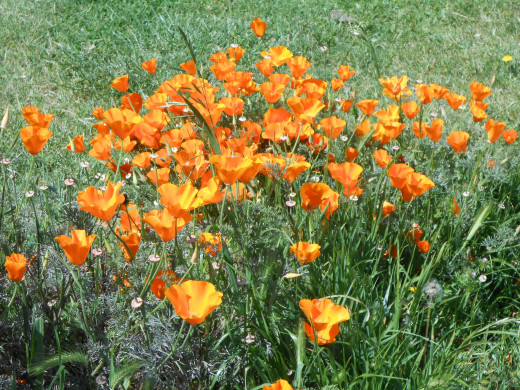 You cannot help be overwhelmed by a field of orange poppies