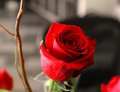 Poems on rose flowers