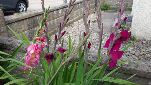 Gladioli at the front of my home.