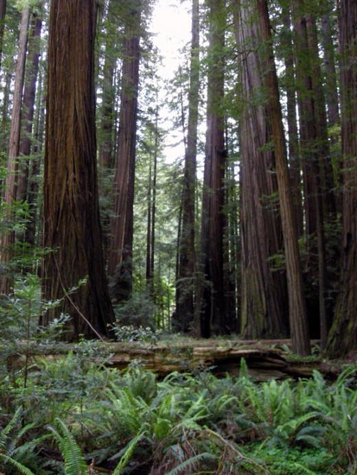 Rockefeller Forest, Humboldt Redwoods State Park.