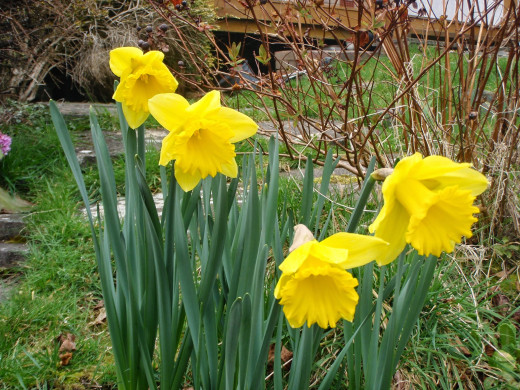 The daffodil - the official flower of Wales.