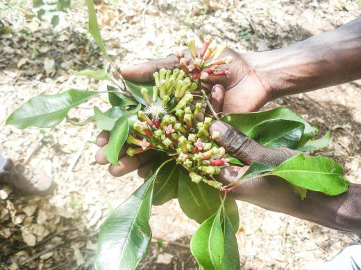 Fresh cloves and flower buds