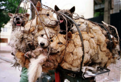 The Yulin Summer Solstice Dog Meat Festival - An Opinion