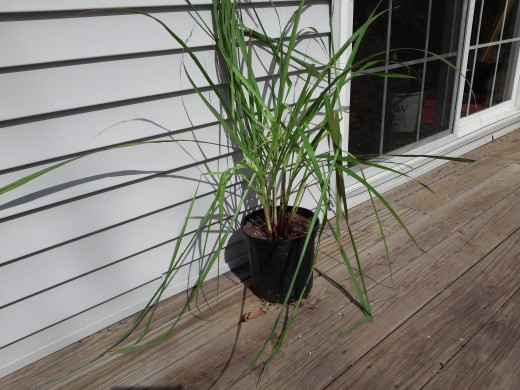 This 2 gallon container is about how large you can expect a single piece of Lemongrass to grow in a year. Next year this will be as large as the opening image.
