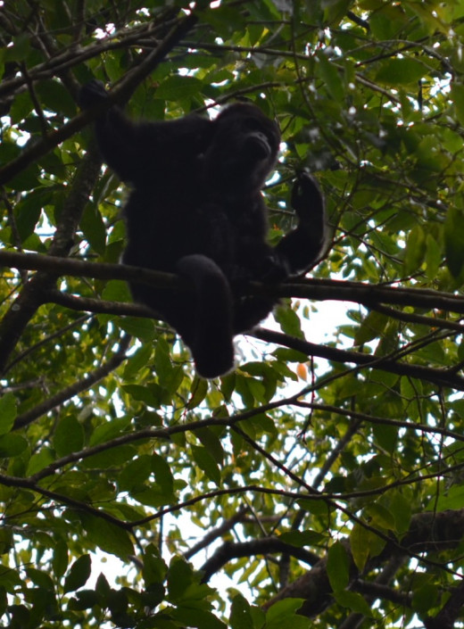 A howler monkey watches from the treetops
