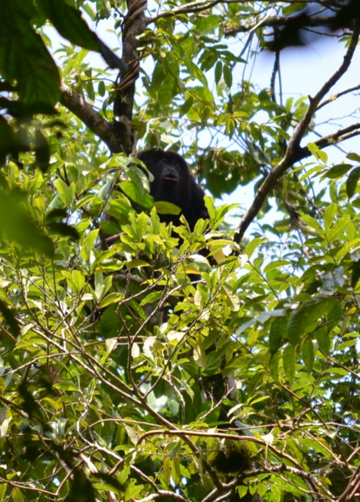 A howler monkey making his very loud calls