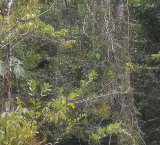 Monkey swings through the trees