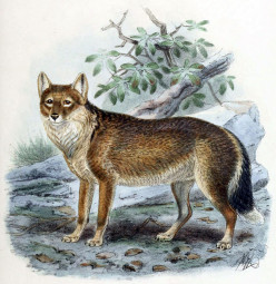 The Falkland Islands Wolf