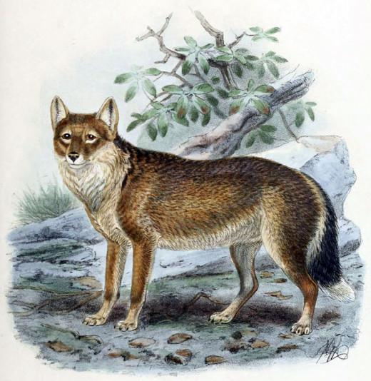 The Falkland Islands wolf