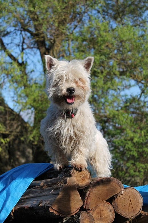 A Westie on a pile of logs.
