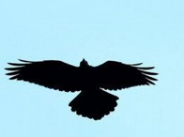Notice the broad, wedge shaped tail of the common raven.