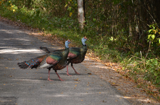 Ocellated turkeys within the bio-reserve