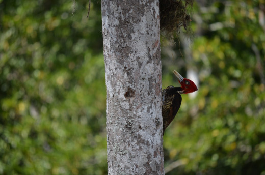 Colorful woodpecker watching me as I climb back down from the pyramid