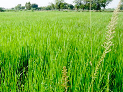 Facts about the Rice Plant - A Detailed Description