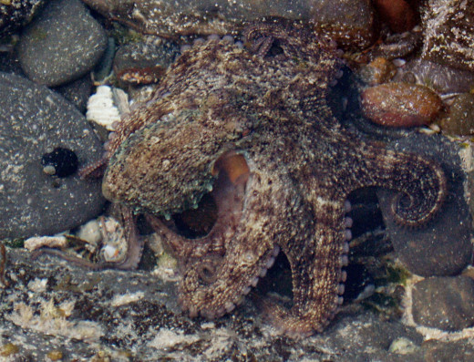 The octopus will frequently use camouflage to stalk pray and hide from predators.