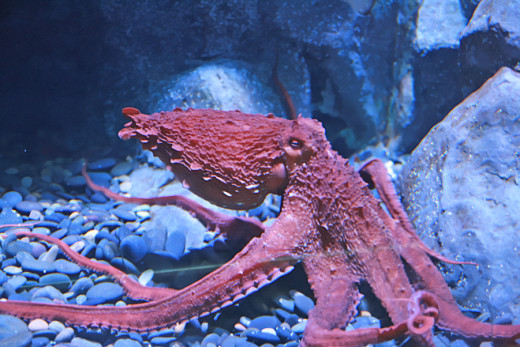Octopi both in the wild and in captivity are able to learn about and adapt to their environment.