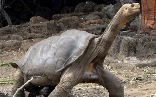 George in Pinta Island, Galapagos, 2008