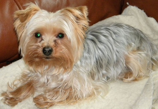 The Yorkshire Terrier is a small breed of dog that was used as a rat catcher in factories and mills. Nowadays it is a companion or toy dog often dressed as a fashion accessory and said to mimic human personae