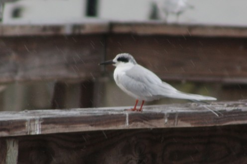 Foster's tern sleeking his feathers to keep out the drizzle.