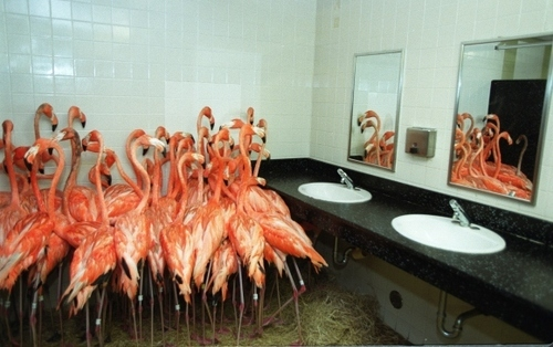 Flamingos Sheltering in a Bathroom during Hurricane Floyd 1999.