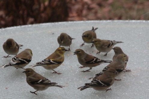 Wintering Gold Finches on an iced over table.