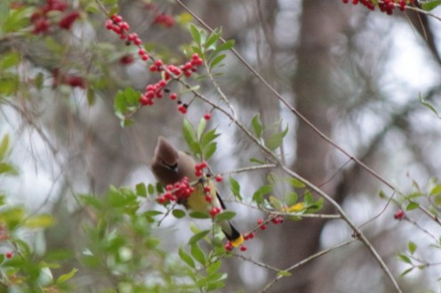 Cedar Waxwing Foraging on Yaupon Holly Berries.