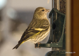 Taken at a home feeder.