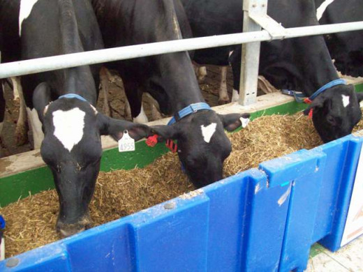 Cows eating a 'Total Mixed Ration' in a Freestall barn.