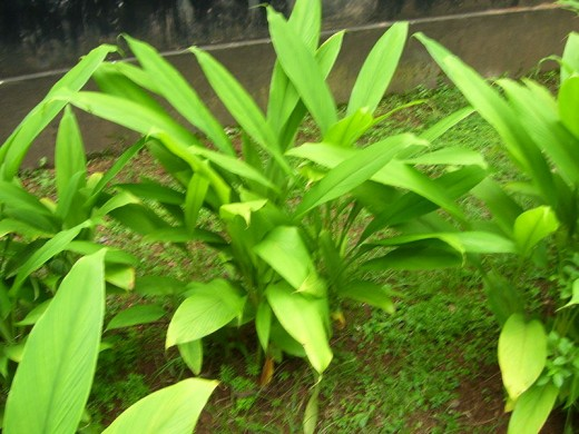 Here is a slightly unfocused image of an individual Turmeric plant growing.