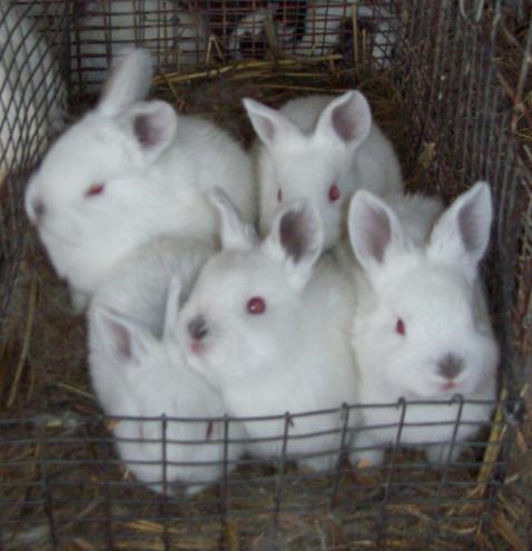 A litter of commercial meat rabbits.